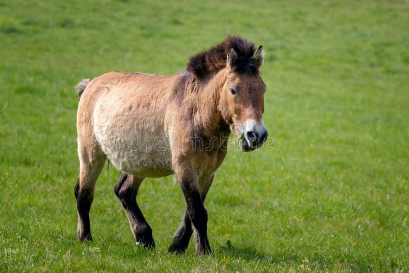 Przewalski koński pasanie wewnątrz na trawie zdjęcie stock