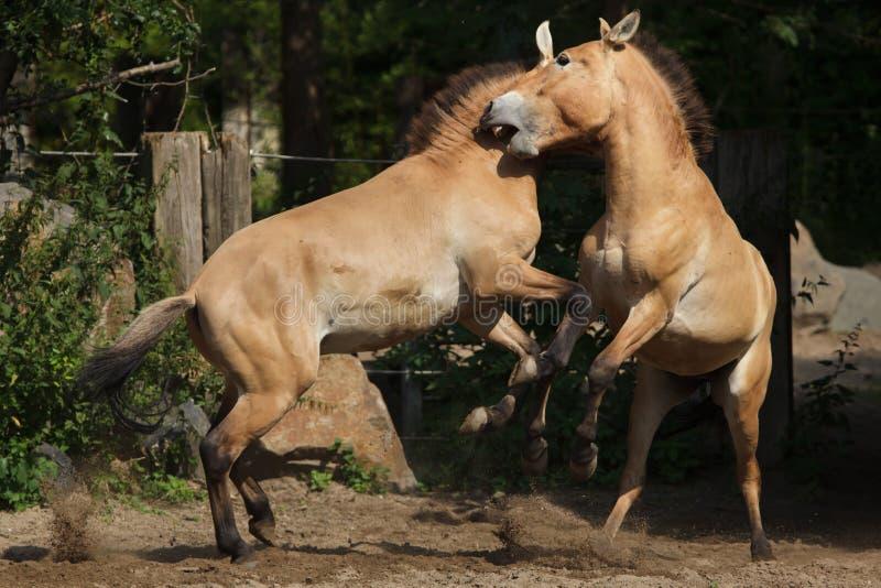 Przewalski ` s Equus ferus koński przewalskii fotografia stock