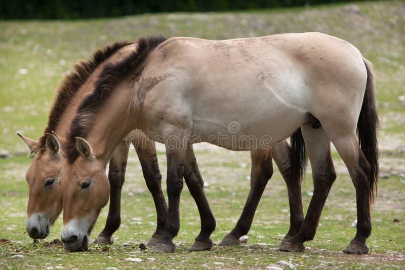 Przewalski ` s Equus ferus koński przewalskii zdjęcie stock