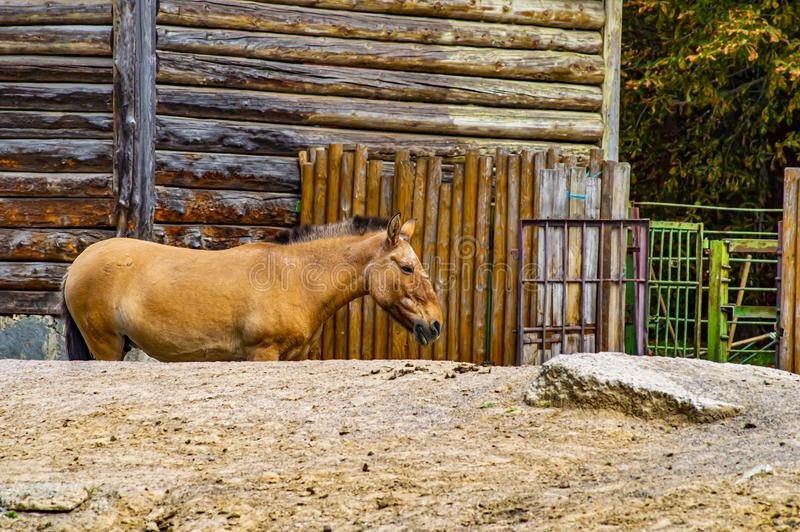 Przewalski`s horse in the aviary of the zoo. Animal world royalty free stock image