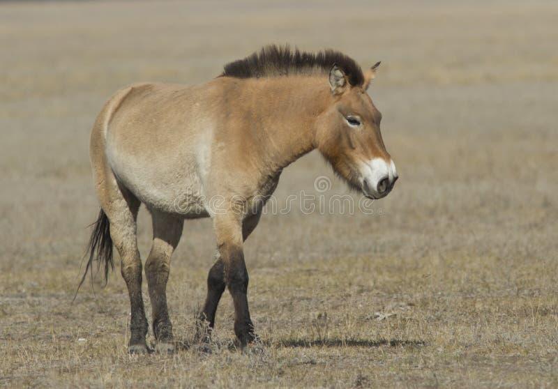 Przewalski's koń w jesień stepie. zdjęcia royalty free