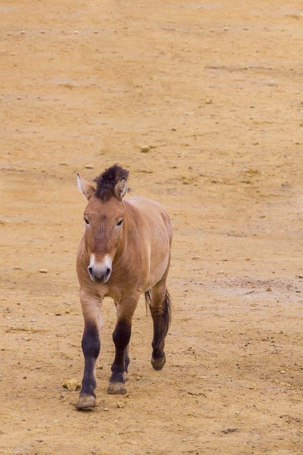 Przewalski ` s koński chodzenie przez pustyni zdjęcie royalty free