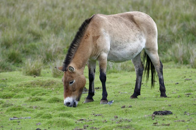 Przewalski` s paard stock foto's