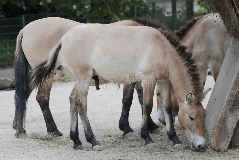 Przewalski` s Paard, Aziatische wild paarden die in Dierentuin voeden stock foto