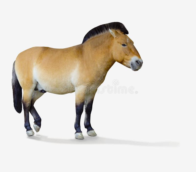 Przewalski` s paard Geïsoleerde royalty-vrije stock foto
