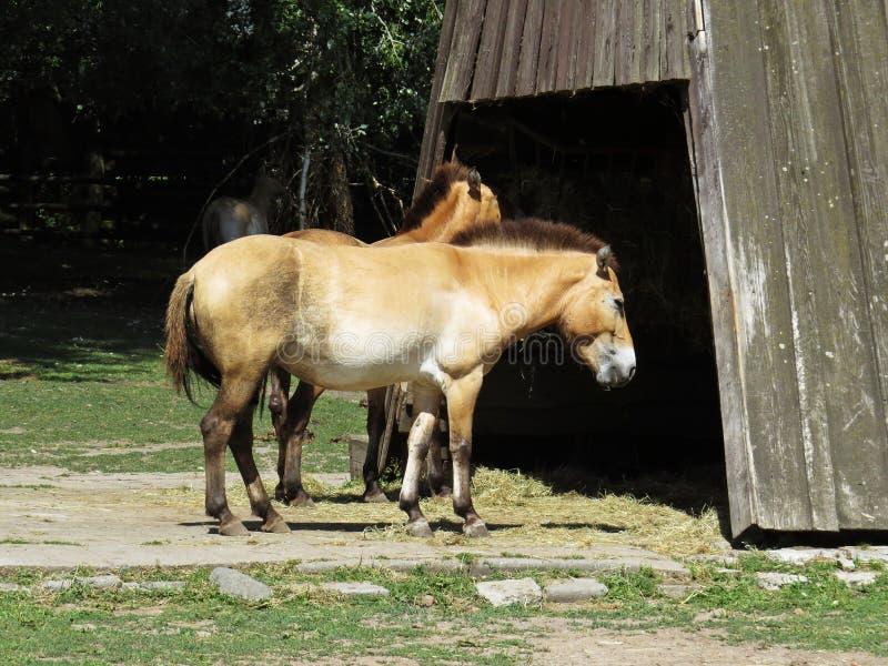 Przewalski` s paard of zogenaamd Mongools Wild paard voor Houten Structuur stock foto's