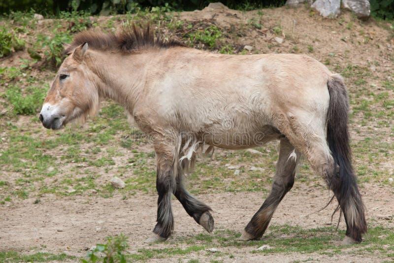 Przewalskii de ferus d'Equus de cheval du ` s de Przewalski images stock