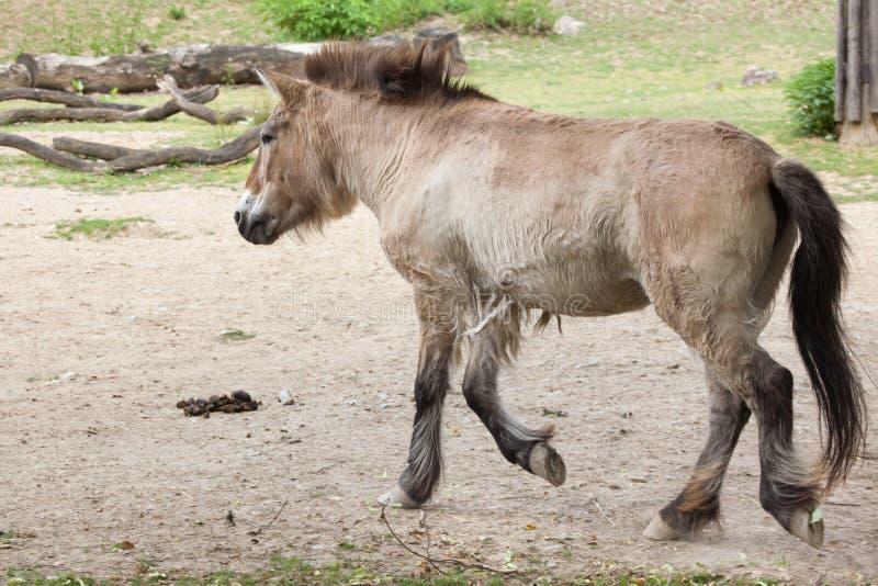 Przewalskii de ferus d'Equus de cheval du ` s de Przewalski photos libres de droits