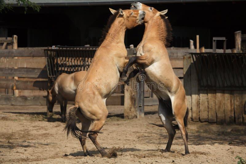 Przewalskii di ferus di equus del cavallo del ` s di Przewalski fotografia stock libera da diritti