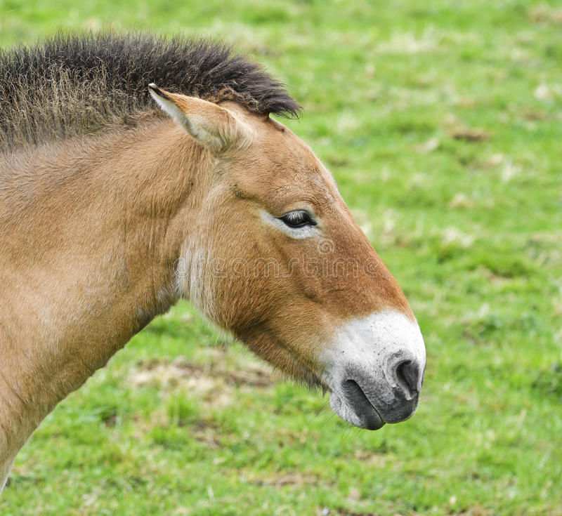 Przewalskii do Equus foto de stock royalty free