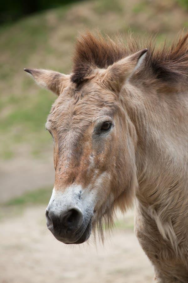 Przewalskii do ferus do Equus do cavalo do ` s de Przewalski imagens de stock