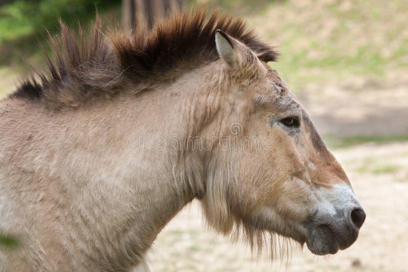 Przewalskii för ferus för Equus för häst för Przewalski ` s arkivbild