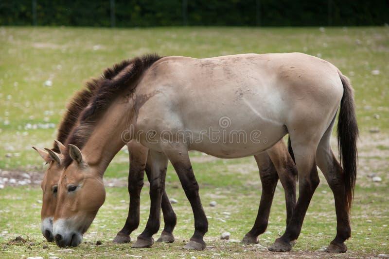 Przewalskii för ferus för Equus för häst för Przewalski ` s royaltyfri bild