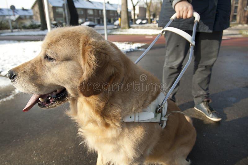 Przewdonika pies pomaga niewidomego mężczyzna obraz royalty free