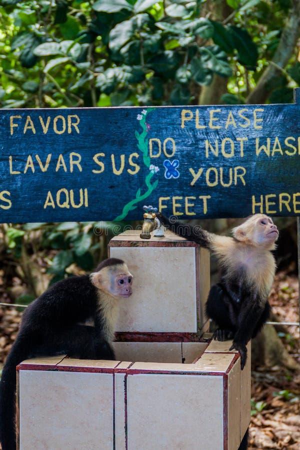 Przewodzący capuchin małpuje Cebus capucinus napój od klepnięcia w parku narodowym Manuel Antonio, Costa Ri obraz royalty free