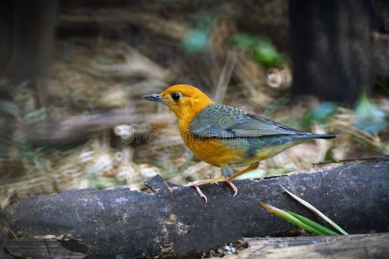 Przewodzący drozda ptak w Thailand zdjęcia stock
