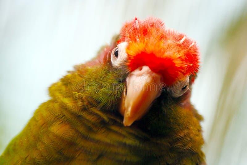 Przewodzący parakeet zdjęcie royalty free