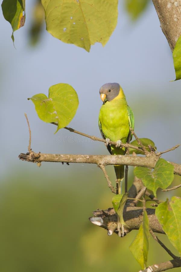 Przewodzący parakeet ptak w Nepal obrazy royalty free