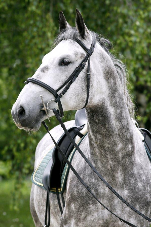 Przewodzi strzał młody lipizzaner koń przeciw zielonemu naturalnemu plecy fotografia stock