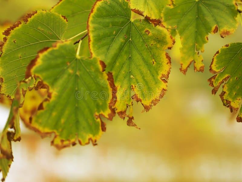 Przez jesień liści, spadku tła, światło słoneczne koloru żółtego i brąz natury, ostrości dyferencjalny macro dostrzegający mój sa zdjęcie royalty free