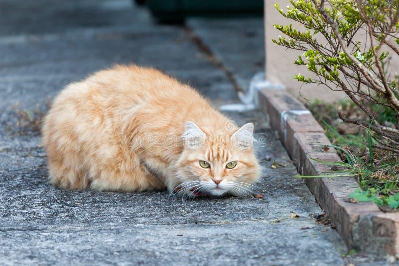 Przezornie Imbirowy Tabby kot na chodniczku zdjęcia stock