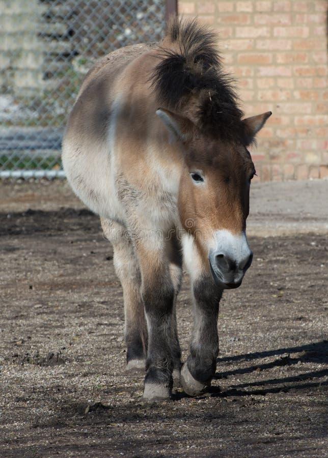 Przhevalsky koń zdjęcie stock