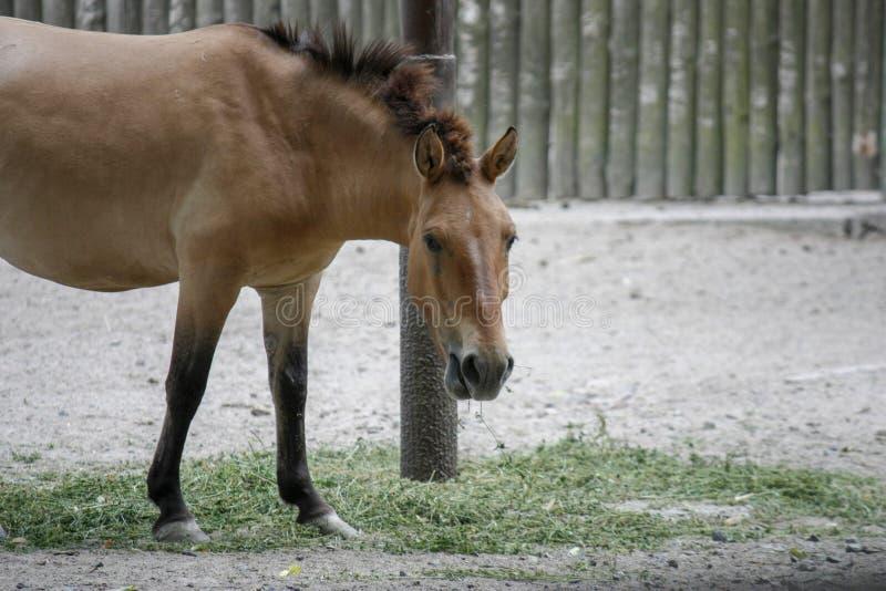 Przhevalsky' s-hästen, kallade en mongolisk vildhäst eller en Dzungarian häst, tuggar hö och ser också in i kameran arkivfoton