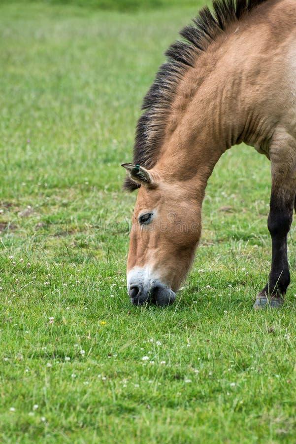 Przwealski van equusferus van het Przewalskipaard in gevangenschap royalty-vrije stock foto's