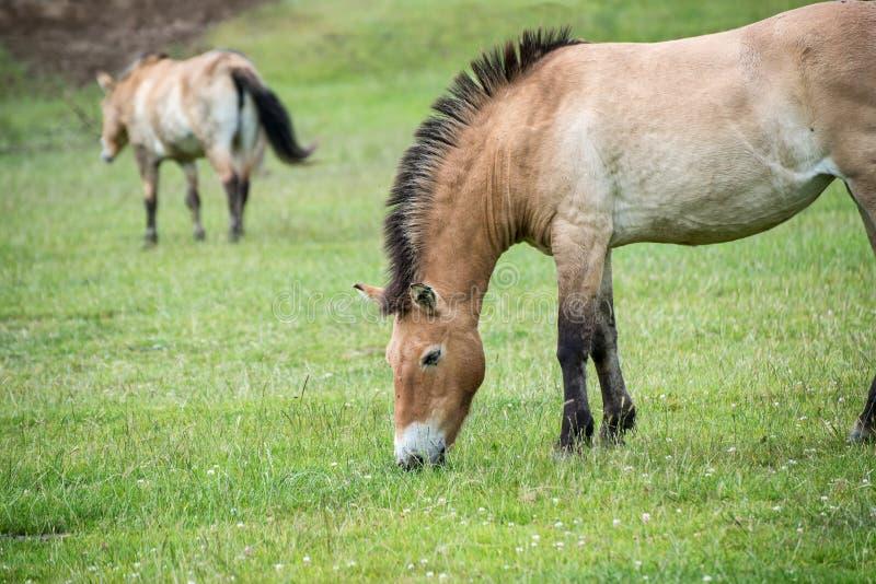 Przwealski van equusferus van het Przewaskipaard in gevangenschap stock afbeelding