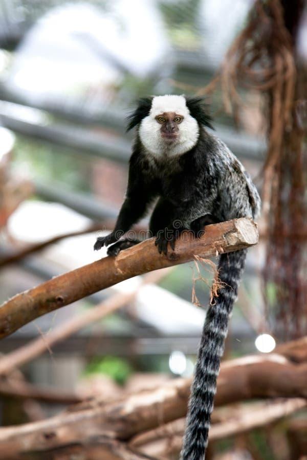 Przy gałąź czarny i biały Napuszony Lemur zdjęcia royalty free