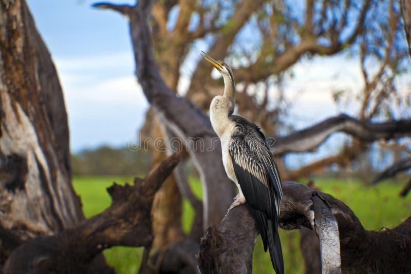 Przy Kakadu Park Narodowy ptasi Życie obrazy stock