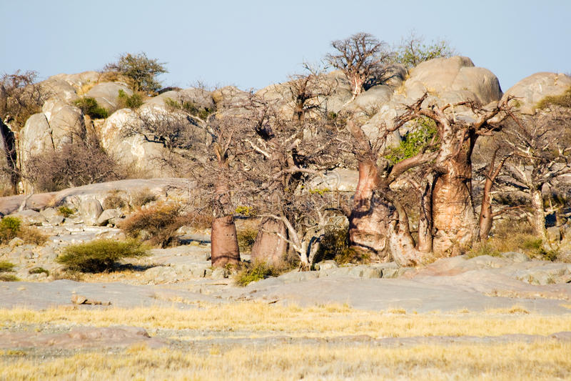 Przy Kubu Wyspą baobabów Drzewa obrazy stock