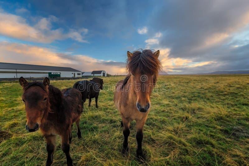Przy Laugarbakki podczas wschodu słońca few ciekawi konie zdjęcie royalty free