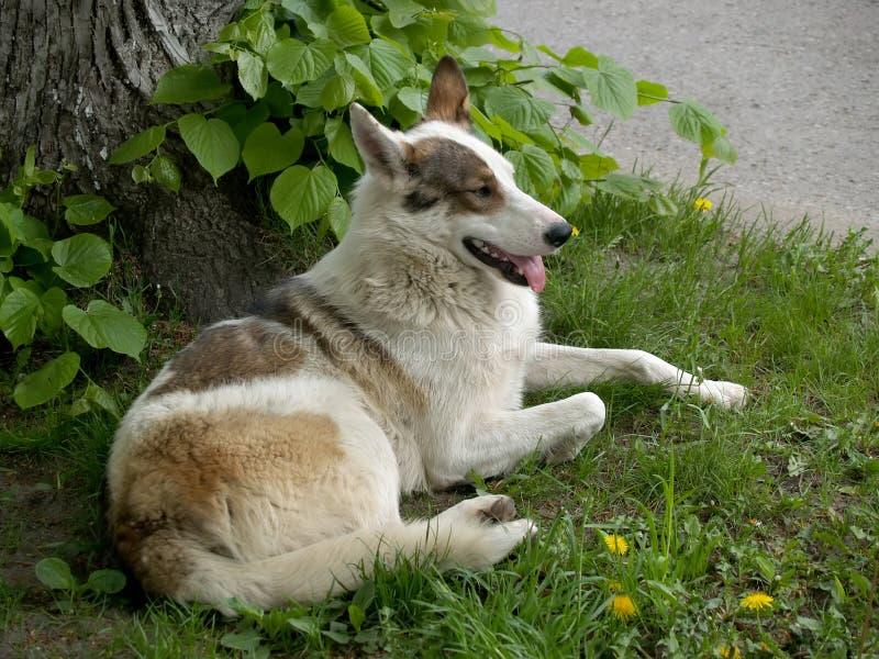 Przybłąkanego psa kłamstwa z jęzorem wiszącym out, obrazy royalty free