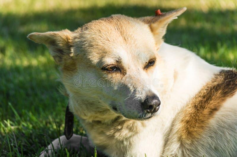 Przybłąkanego psa portret w parku obraz royalty free