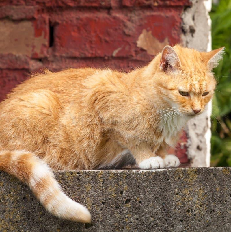 Przybłąkany Imbirowy Tabby obsiadanie przed ściana z cegieł obraz royalty free