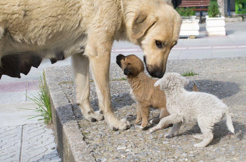 Przybłąkany matka pies, szczeniaki i fotografia royalty free