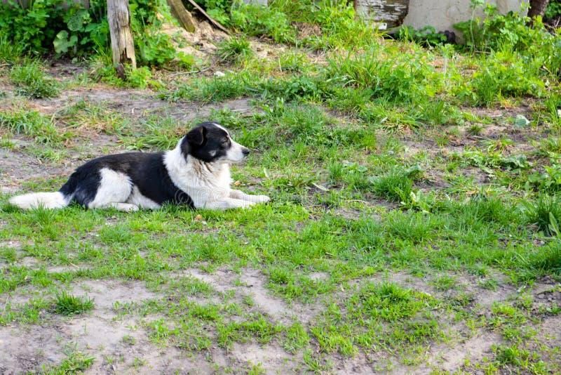 Przybłąkany pies kłama na zielonej trawie obrazy royalty free