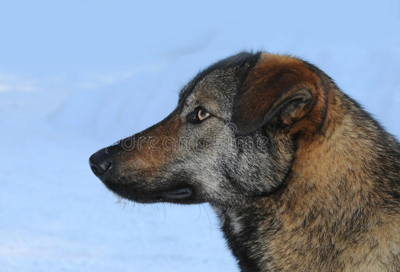 Przybłąkany pies w Chernobyl zdjęcia stock
