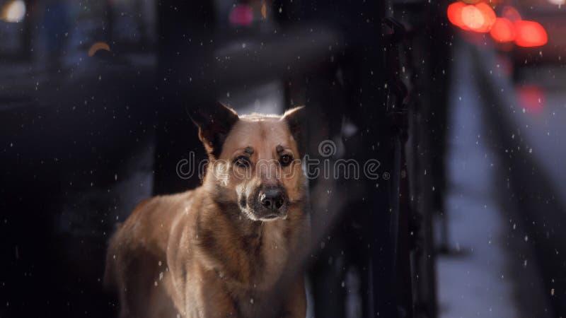 Przybłąkany pies w mieście Noc na ulicie fotografia stock