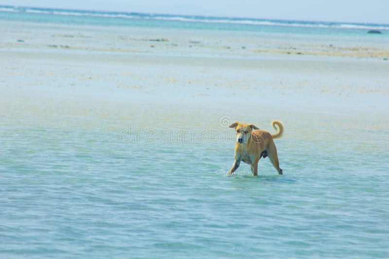 Przybłąkany pies Wiesza wokoło na plaży Cieszy się wodę obraz stock