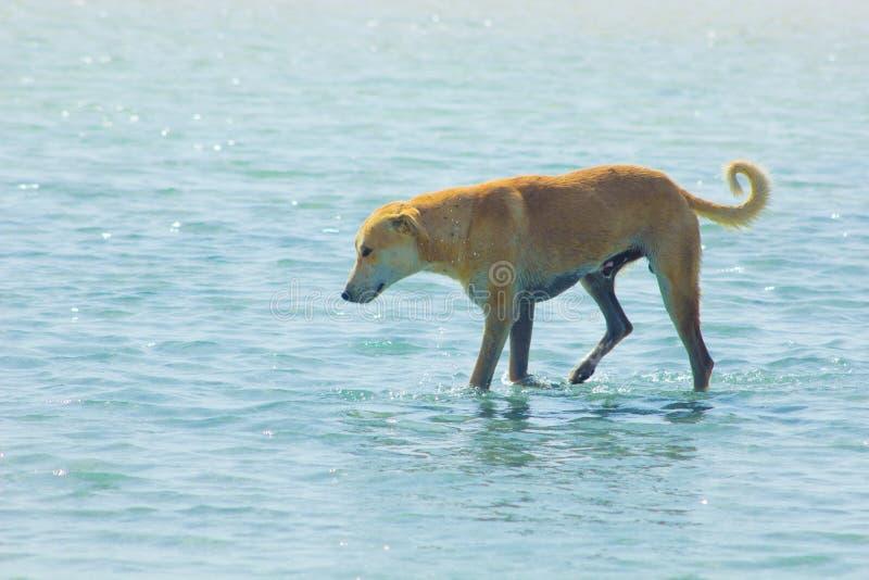 Przybłąkany pies Wiesza wokoło na plaży Cieszy się wodę fotografia royalty free