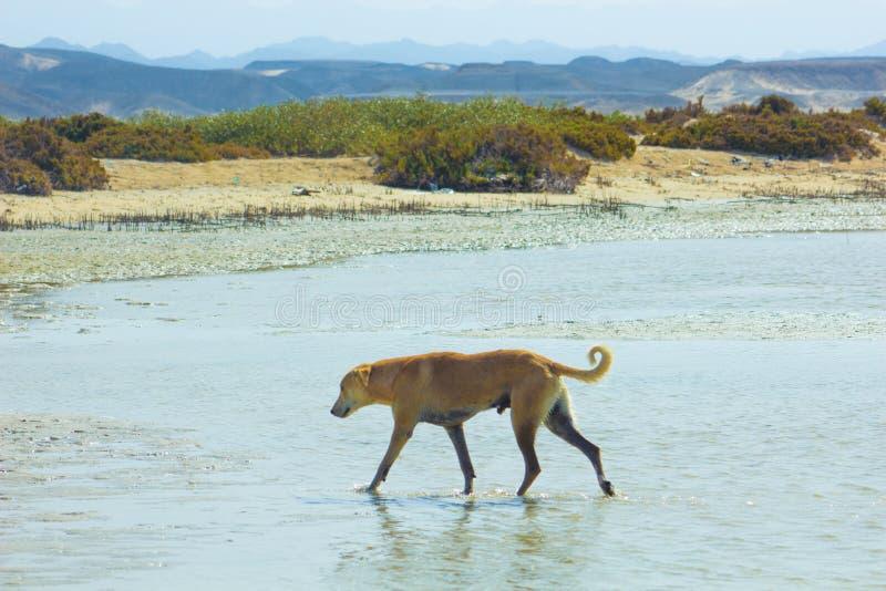Przybłąkany pies Wiesza wokoło na plaży Cieszy się wodę fotografia stock