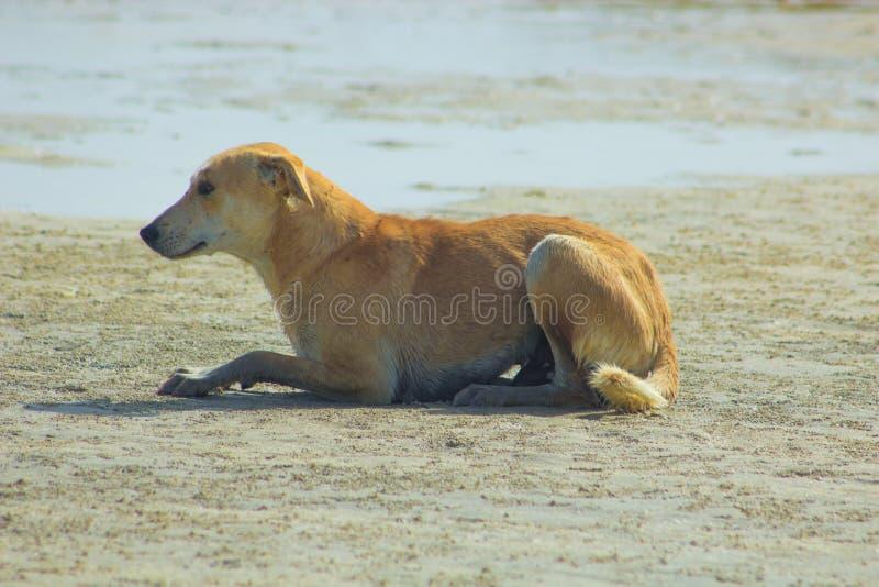 Przybłąkany pies Wiesza wokoło na plaży Cieszy się wodę zdjęcie stock