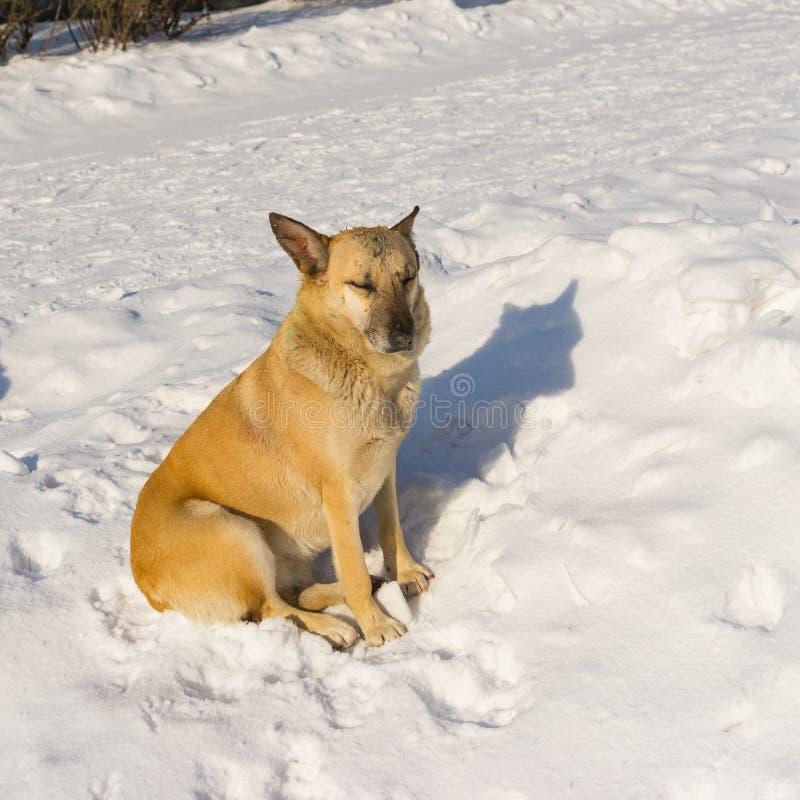 Przybłąkany pies z bliznami otrzymywać w ulicznych psich walkach relaksuje pod zimy słońcem podczas gdy siedzący na śniegu obraz stock