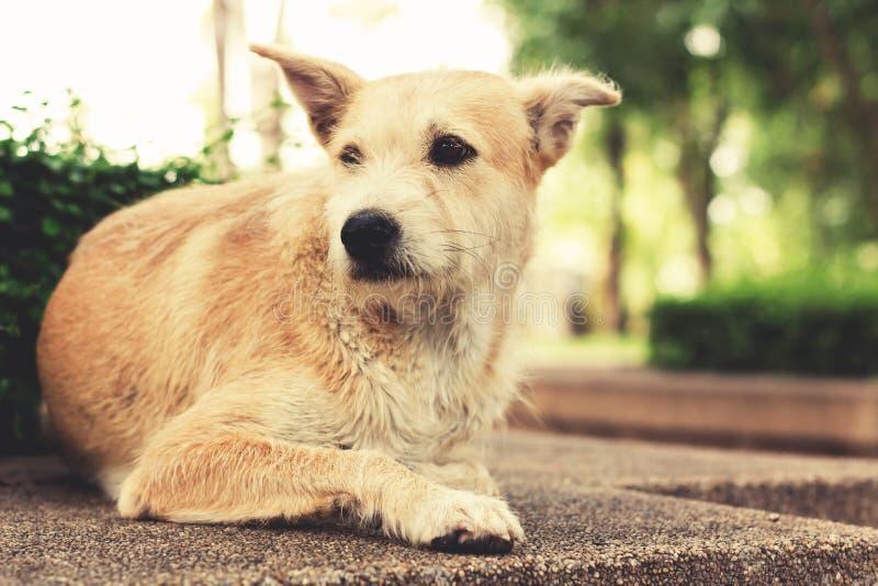 Przybłąkany pies z smutnymi oczami patrzeje oddalony i lying on the beach w parku Rocznik obrazy royalty free