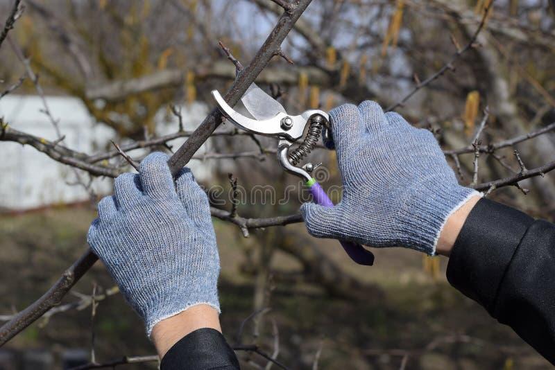 Przycinać prunus przycina strzyżenia Arymażu drzewo z krajaczem Wiosny przycinać owocowi drzewa zdjęcia royalty free