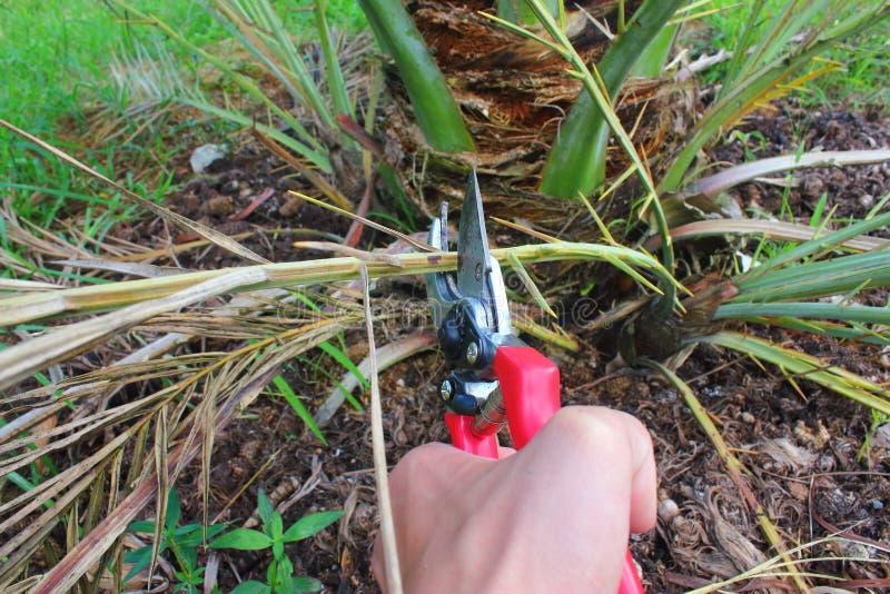 Przycinać Daktylowego drzewka palmowego z secateurs obraz stock
