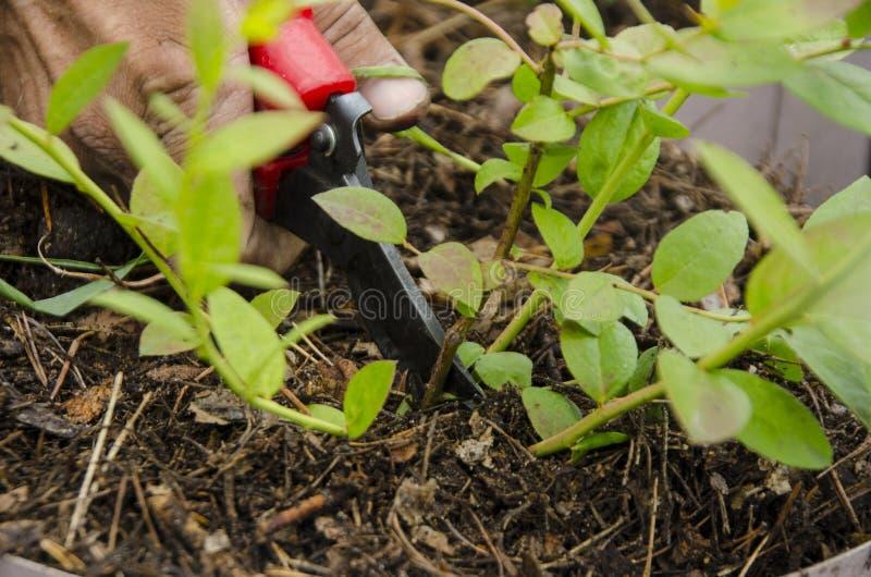Przycinać liście w krzaka ogródzie obraz royalty free