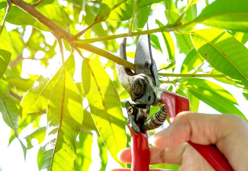 Przycinający drzewa z przycinać strzyżenia w ogródzie na natury backg zdjęcie royalty free